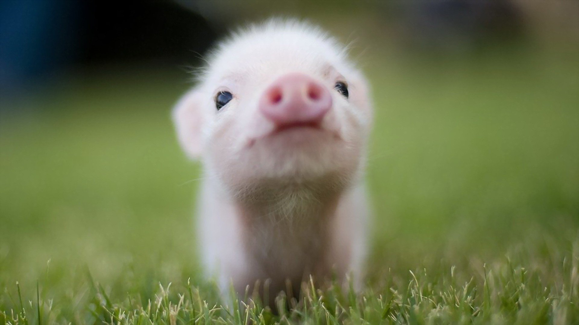 Animal - Pig  Baby Animal Cute Wallpaper