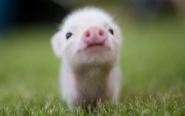 Animal Pig Baby Animal Cute HD Wallpaper | Background Image