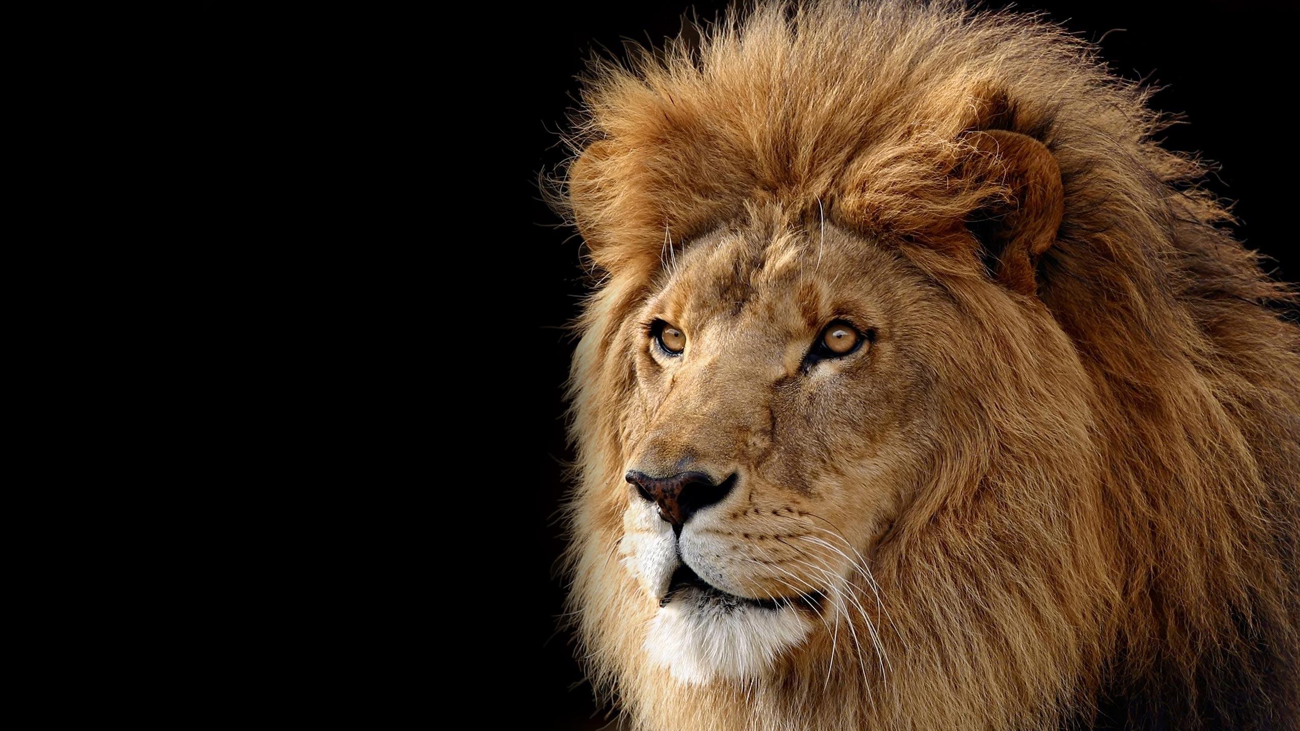 Lion Fond Décran Hd Arrière Plan 2560x1440 Id237687