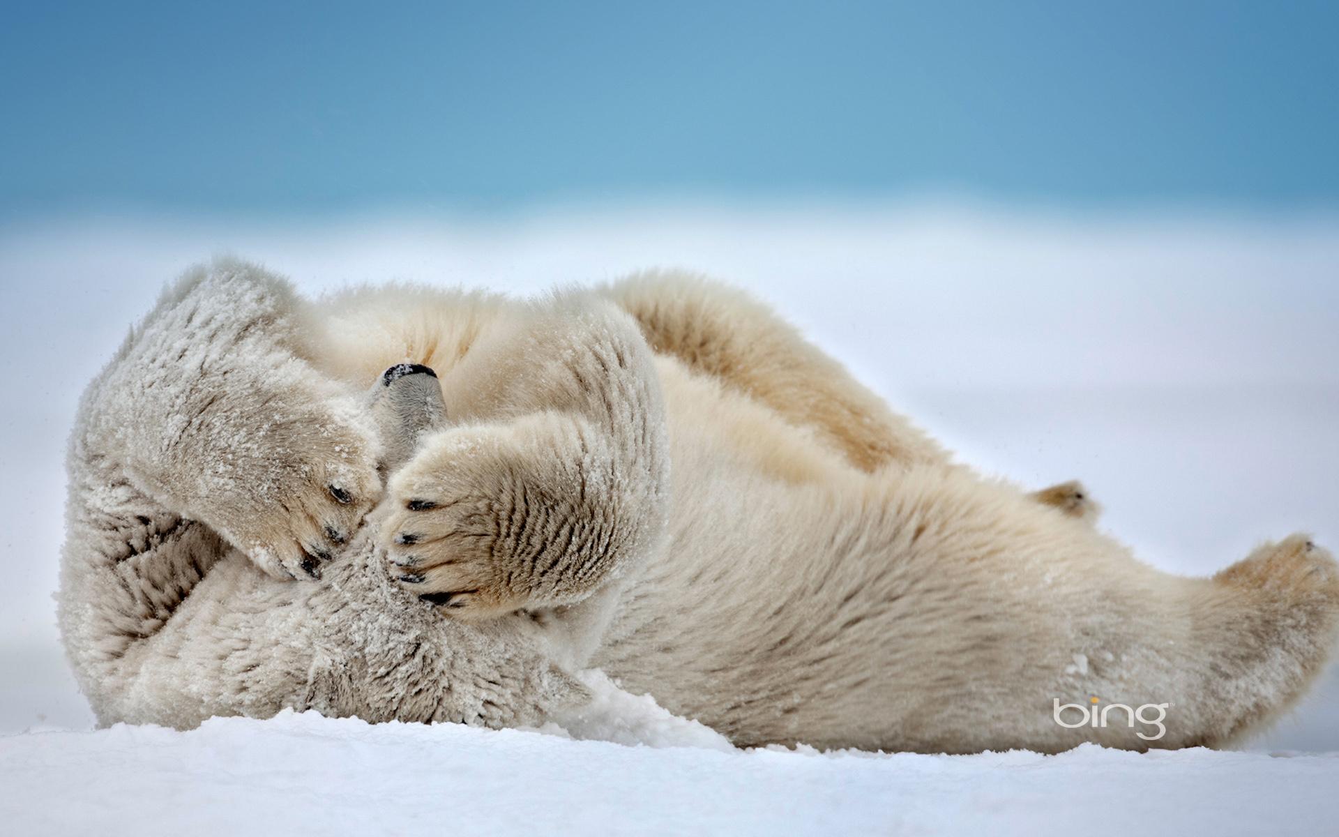 polar bear full hd wallpaper and background image | 1920x1200 | id