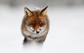 Animal - Fox Wallpapers and Backgrounds ID : 241165