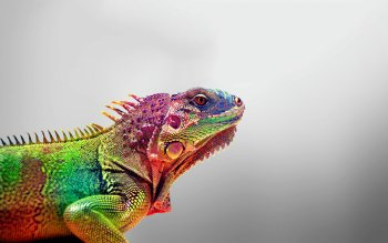 Animal - Iguana Wallpapers and Backgrounds ID : 243029