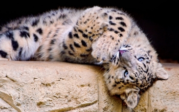 Tier - Snow Leopard Wallpapers and Backgrounds ID : 244537