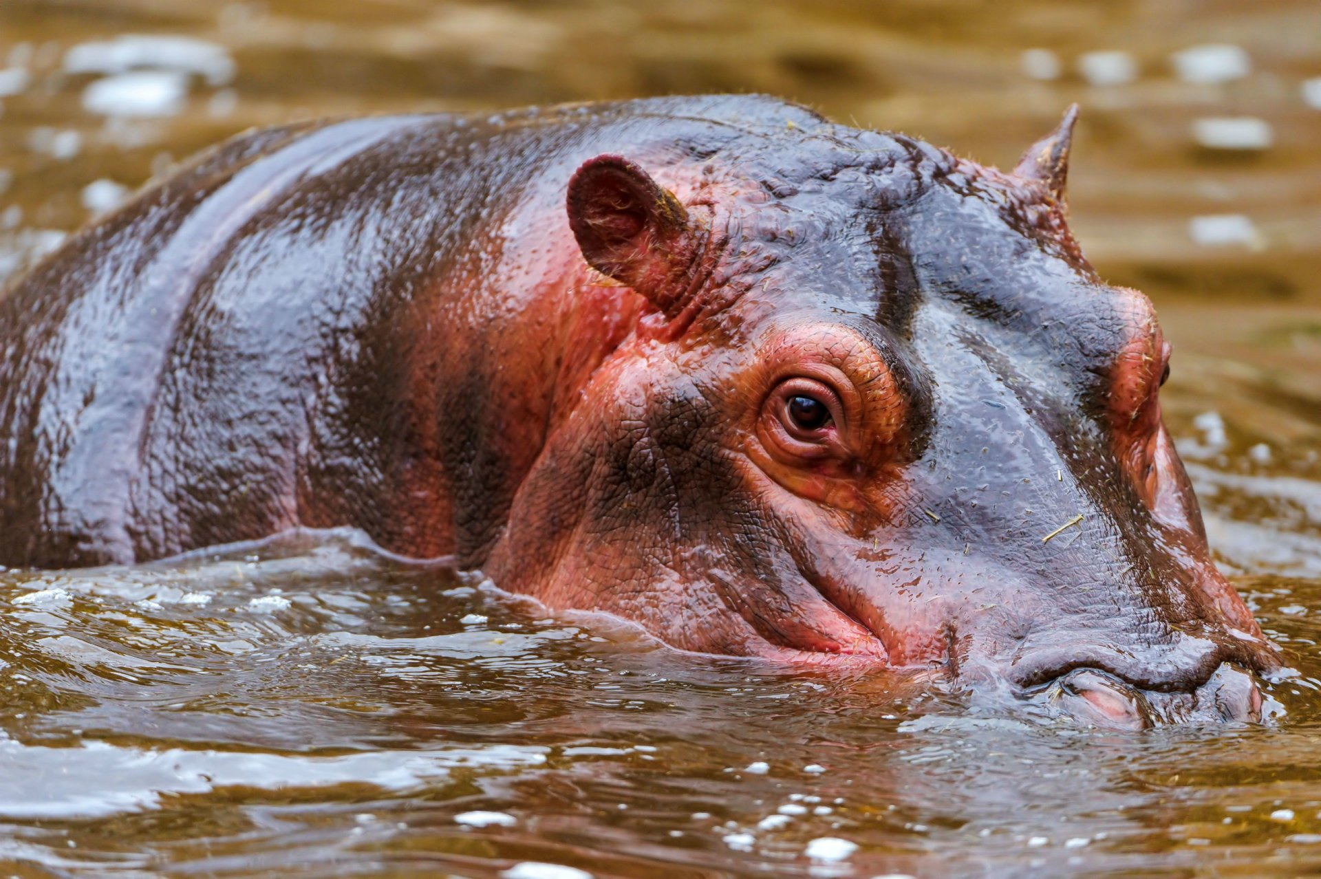 animal hippo wallpaper 1600x1200 - photo #15