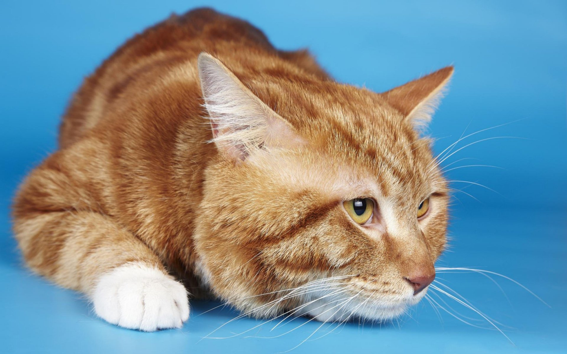 Ginger Cat Hd Wallpaper Background Image 1920x1200 Id