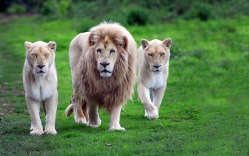 Animal - Lion Wallpapers and Backgrounds ID : 246147