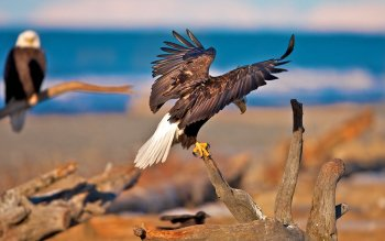 Animal - Eagle Wallpapers and Backgrounds ID : 246219