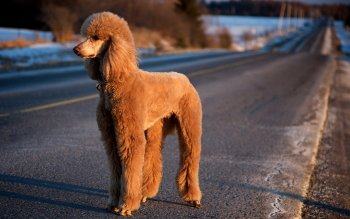 Animal - Poodle Wallpapers and Backgrounds ID : 247575