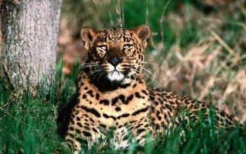 Animal - Leopard Wallpapers and Backgrounds ID : 247645