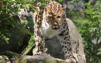 Animalia - Leopard Wallpapers and Backgrounds ID : 248477