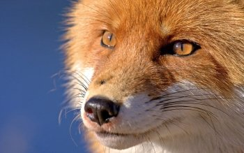 Animal - Fox Wallpapers and Backgrounds ID : 248519