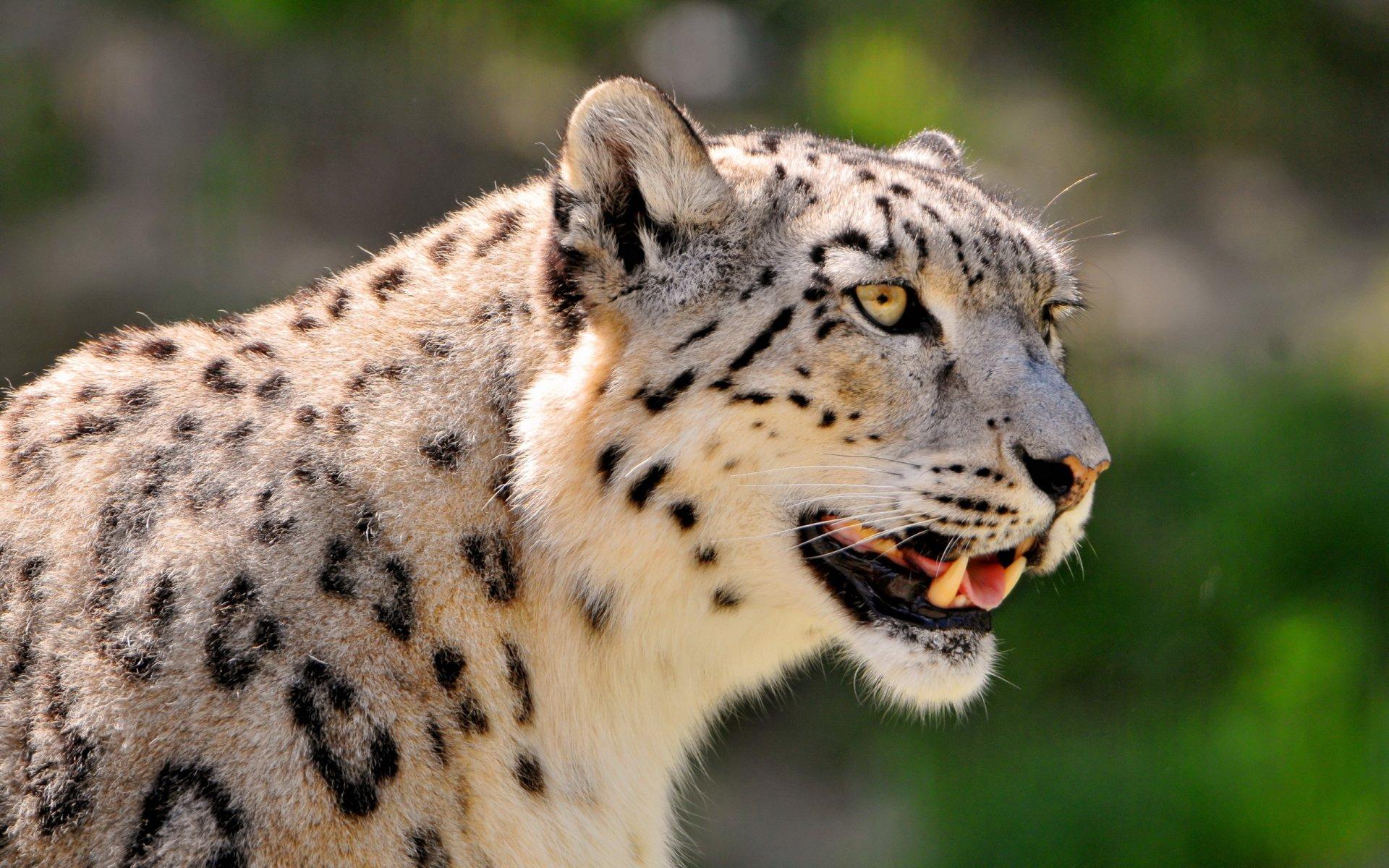 Animales Felino Leopardos Fondo De Pantalla Fondos De: Leopardo De Las Nieves Full HD Fondo De Pantalla And Fondo
