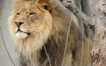 Dierenrijk - Lion Wallpapers and Backgrounds ID : 249067