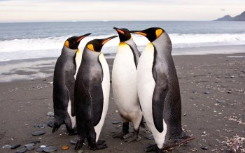 Animal - Penguin Wallpapers and Backgrounds ID : 249837