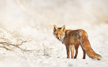 Animal - Fox Wallpapers and Backgrounds ID : 249847