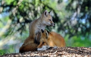 Animal - Fox Wallpapers and Backgrounds ID : 250257