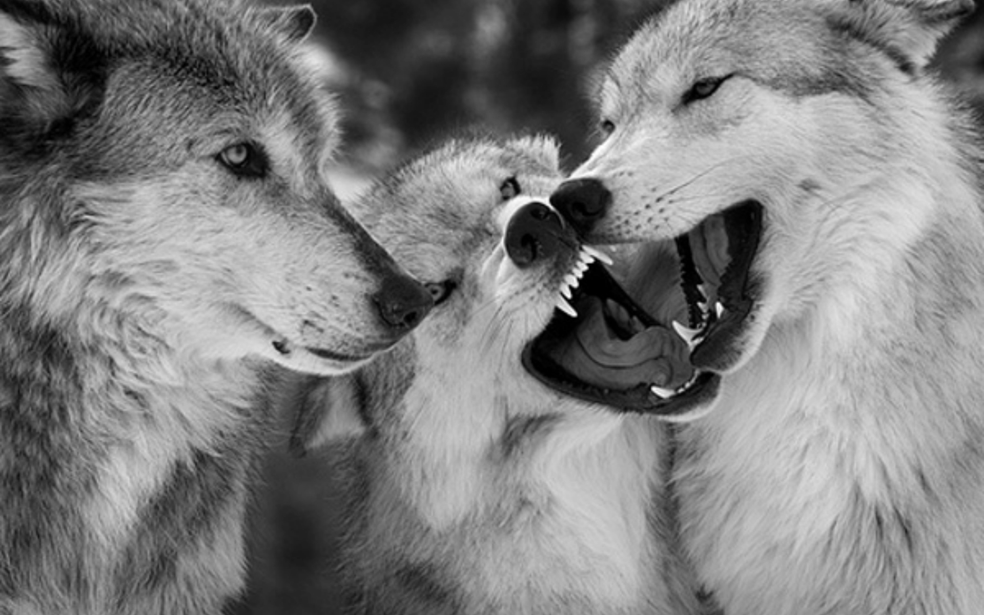 wallpaper loup fond - photo #14