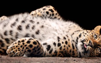 Animalia - Leopard Wallpapers and Backgrounds ID : 251085
