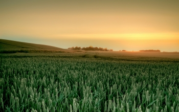 Earth - Wheat Wallpapers and Backgrounds ID : 254155