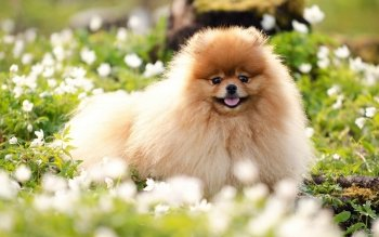 Animal - Pomeranian Wallpapers and Backgrounds ID : 258059