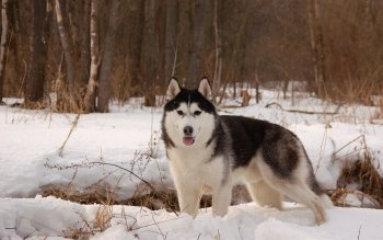 Animal - Husky Wallpapers and Backgrounds ID : 260847