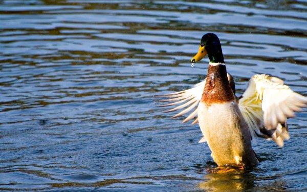 Animal Mallard Birds Ducks Duck HD Wallpaper   Background Image