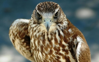 Animal - Hawk Wallpapers and Backgrounds ID : 263379