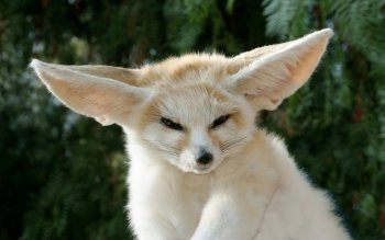 Animal - Fennec Fox Wallpapers and Backgrounds ID : 266479