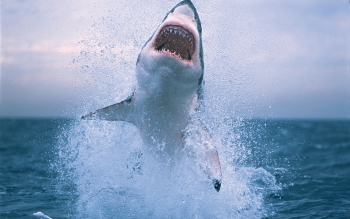 Animal - Shark Wallpapers and Backgrounds ID : 266589