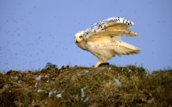 Animal - Snowy Owl Wallpapers and Backgrounds ID : 26815