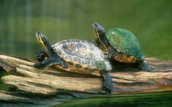 Animal - Turtle Wallpapers and Backgrounds ID : 26825