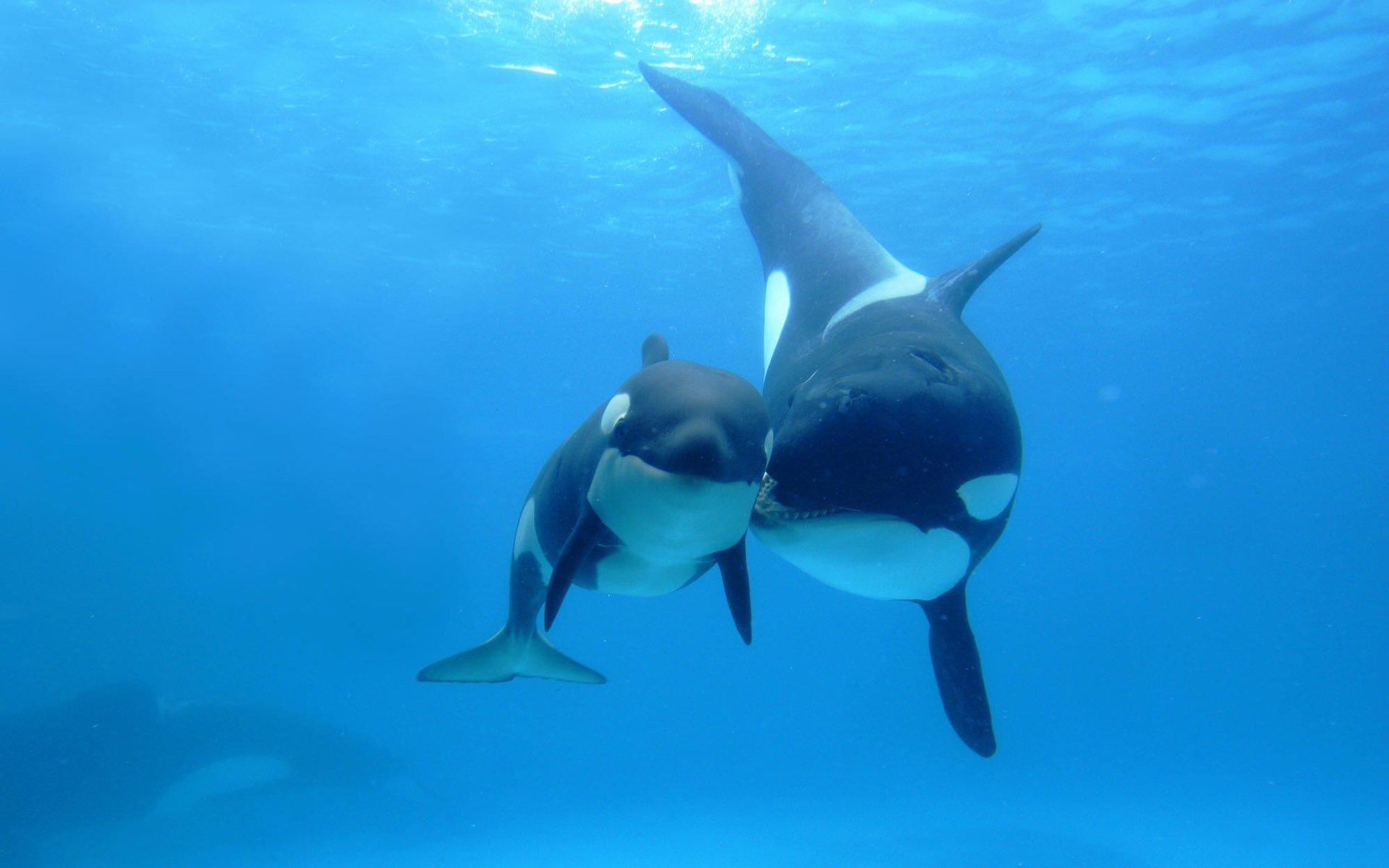 Animal - Whale  Orca Killer Whale Animal Sea Life Baby Animal Wallpaper