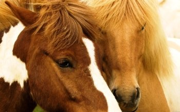 Animalia - Caballo Wallpapers and Backgrounds ID : 271687
