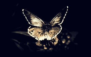 Animal - Butterfly Wallpapers and Backgrounds ID : 271809