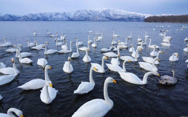 Animal Whooper swan Birds Swans Water Goose Flock Of Birds HD Wallpaper | Background Image