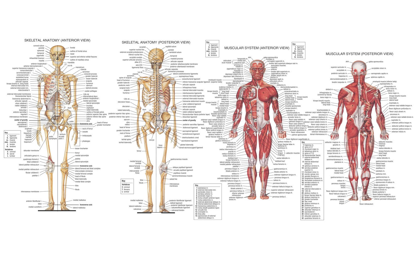 63 Anatomy HD Wallpapers | Background Images - Wallpaper Abyss