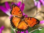 Preview Butterflies