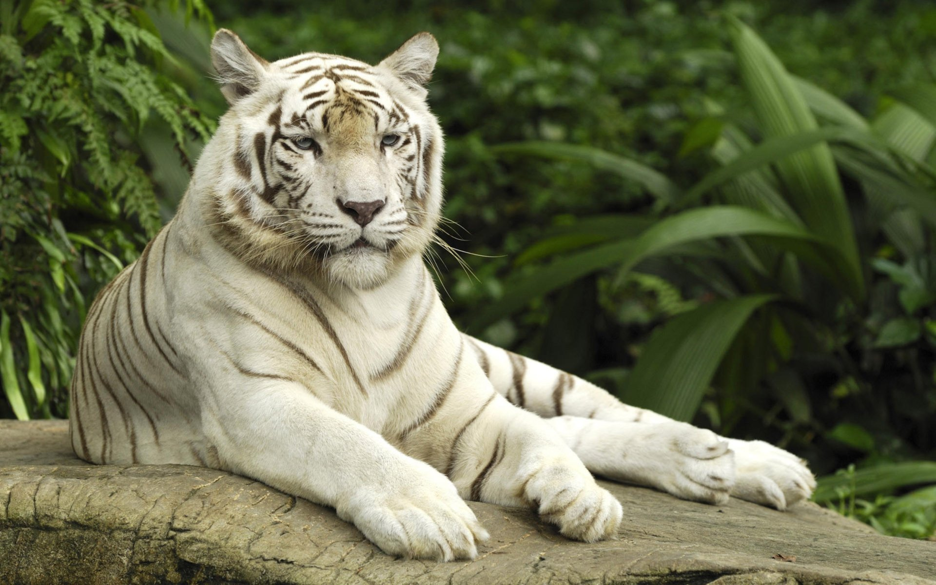 Animal - White Tiger  Tiger Big Cat White Animal Wallpaper