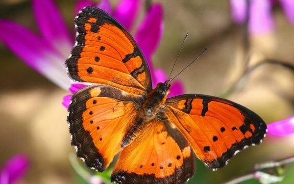 Animal Butterfly orange Insect HD Wallpaper   Background Image