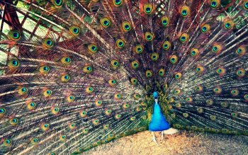 Animal - Peacock Wallpapers and Backgrounds ID : 275199