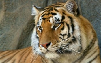 Djur - Tiger Wallpapers and Backgrounds ID : 275709