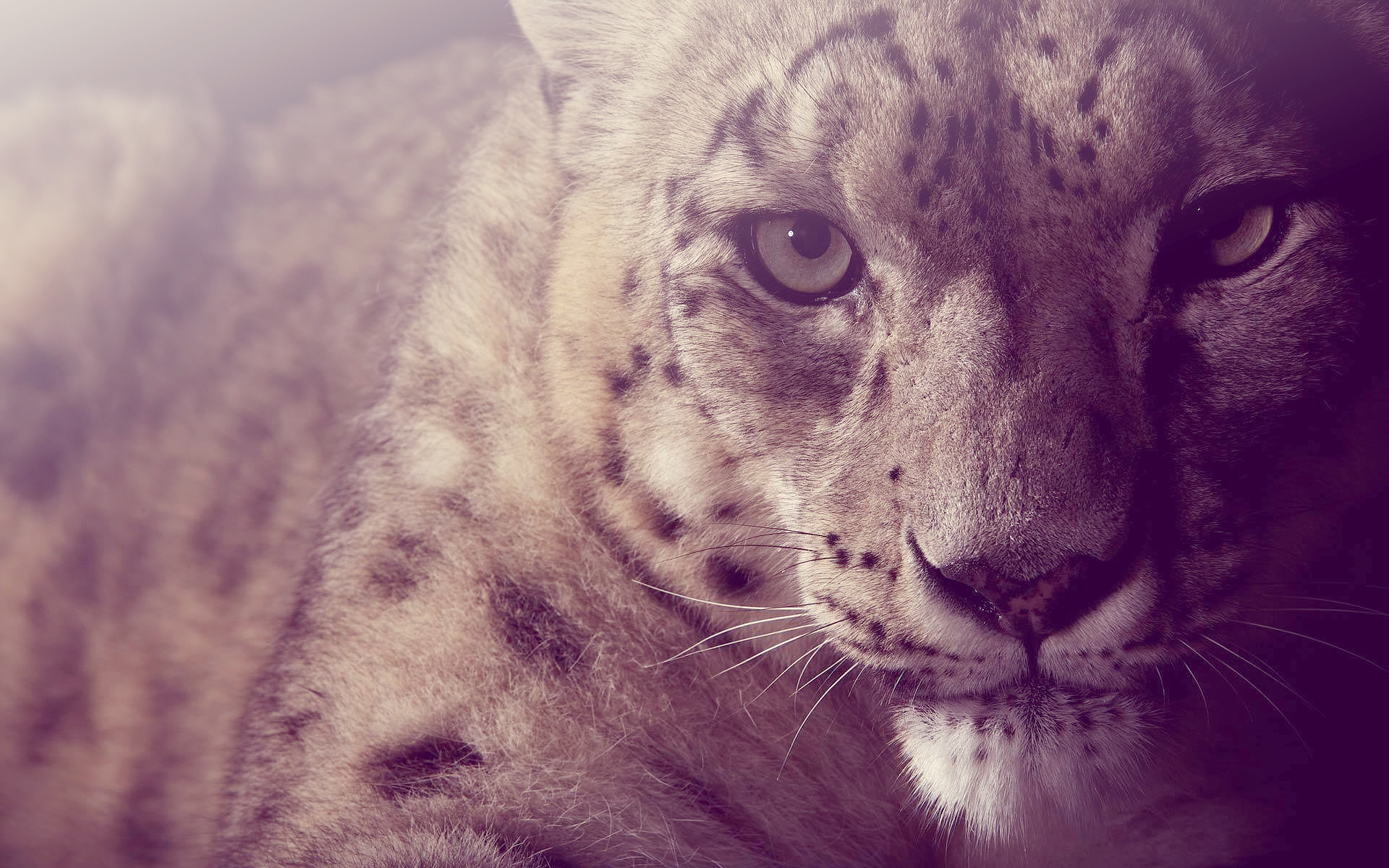 Snow leopard computer wallpapers desktop backgrounds for Animal wallpaper for walls