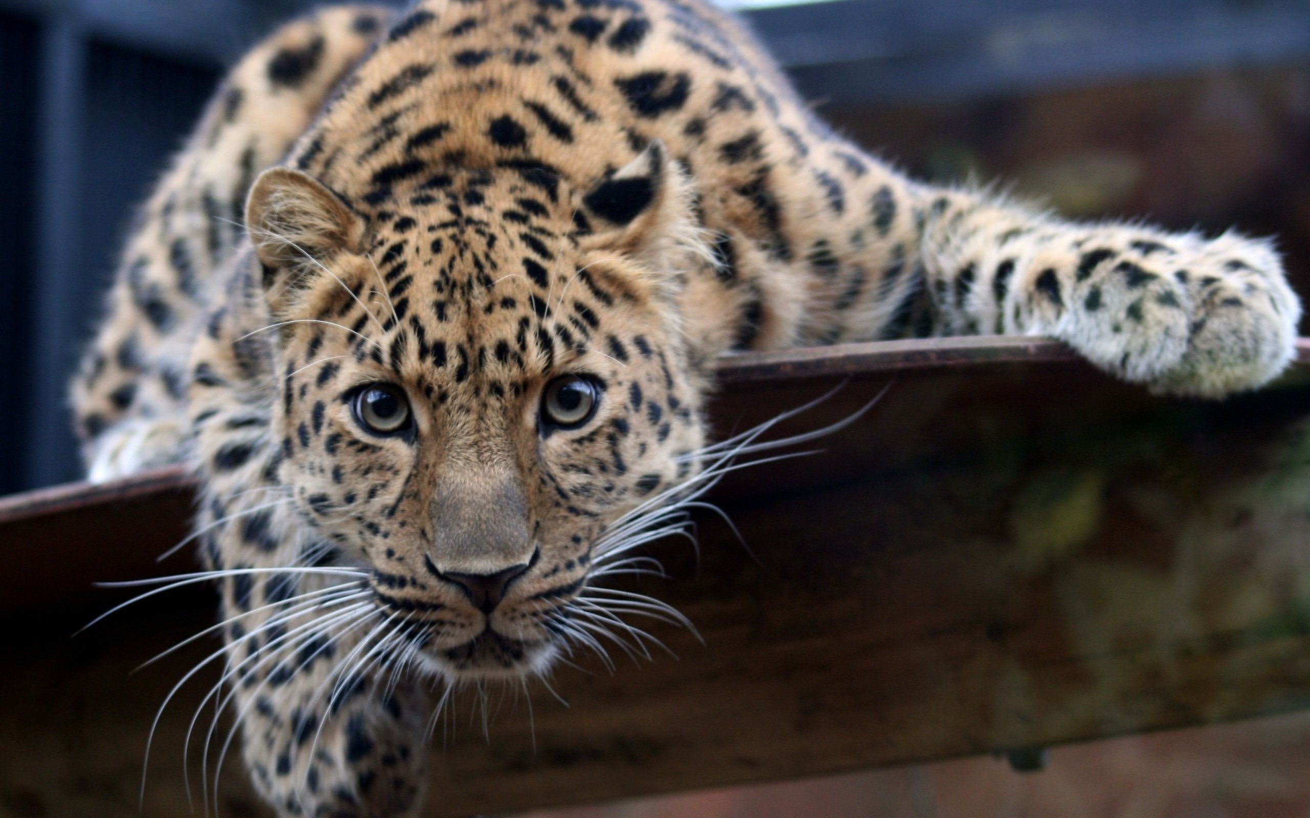 Jaguar hd wallpaper hintergrund 2560x1600 id 276135 - Jaguar animal hd wallpapers ...