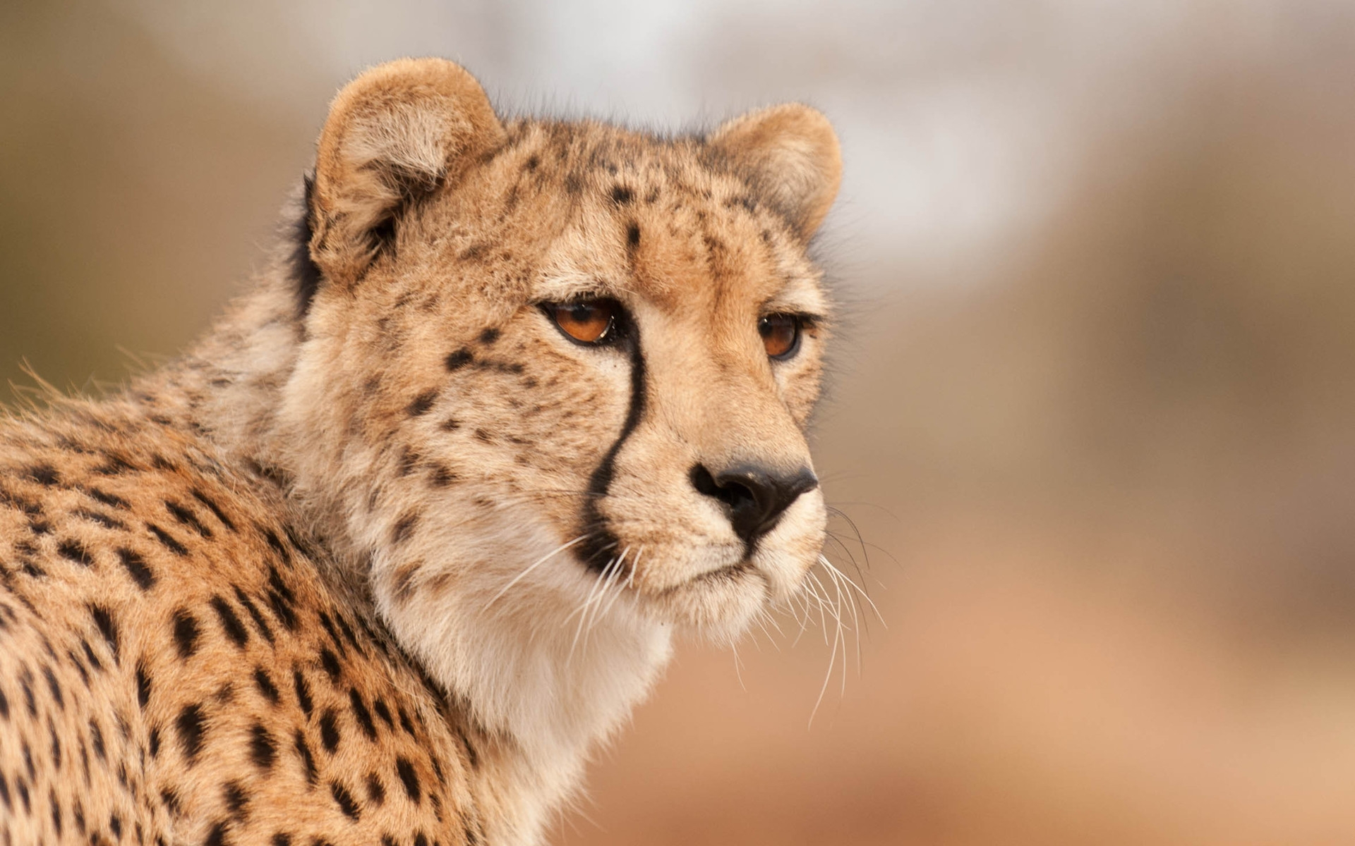 Cheetah full hd wallpaper and background image 1920x1200 id276219 animal cheetah wallpaper voltagebd Image collections