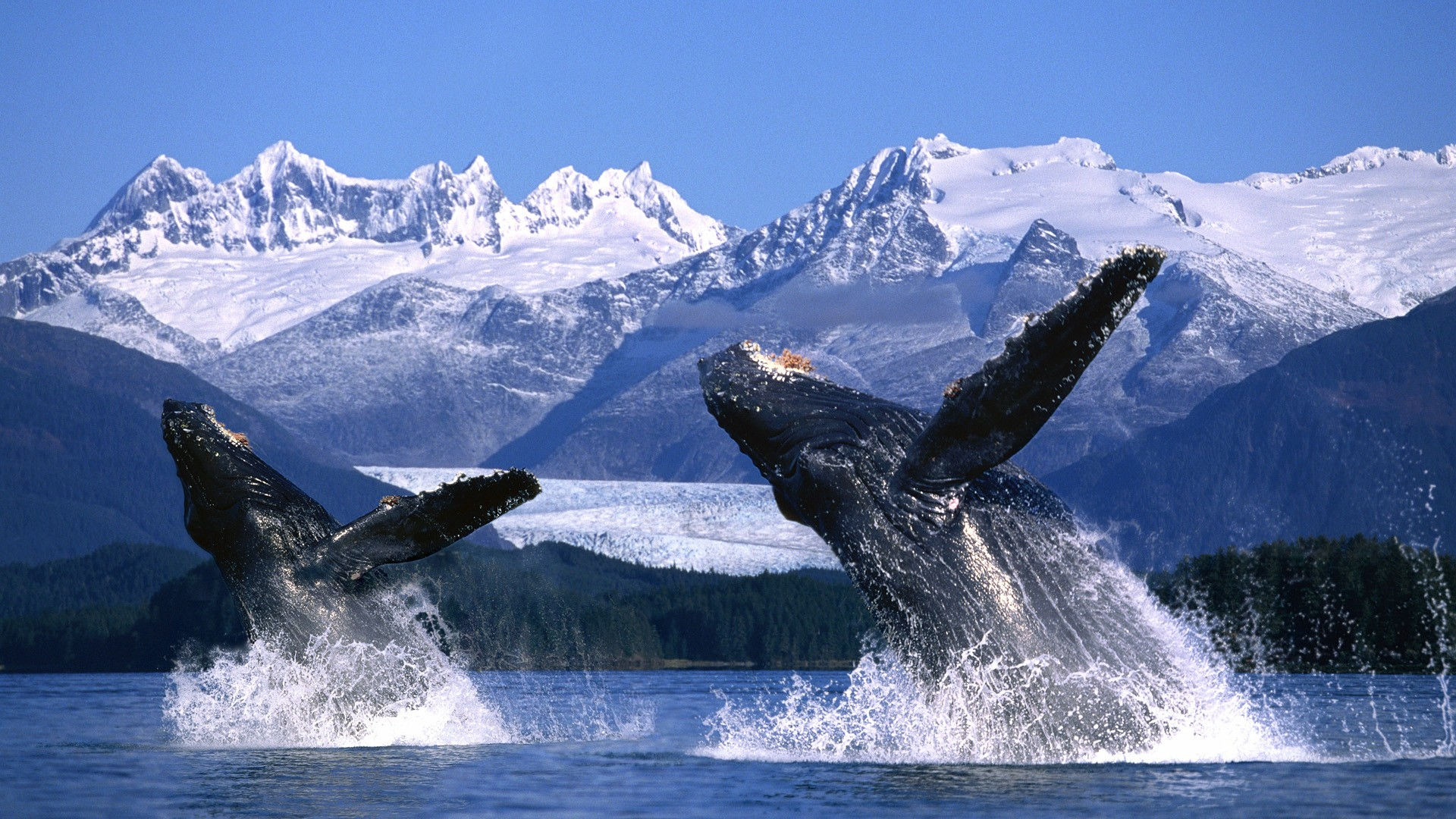 two humpback whale 39 s breaching in the waters of alaska
