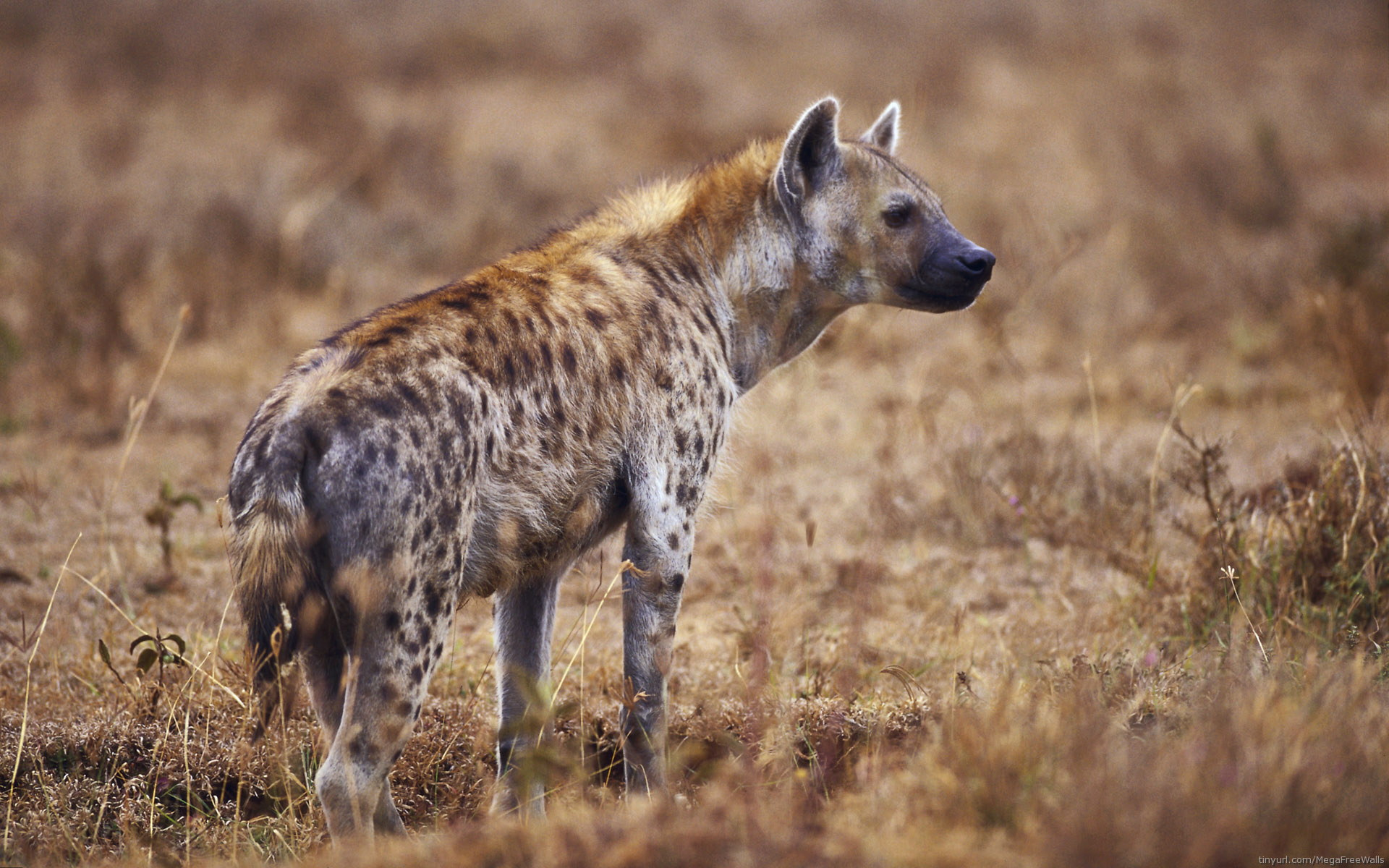 10 Hyena HD Wallpapers | Backgrounds - Wallpaper Abyss
