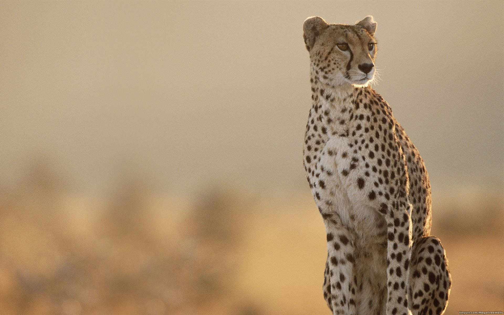 tanzania cheetah computer wallpapers desktop backgrounds