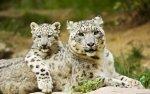 Preview Snow Leopards