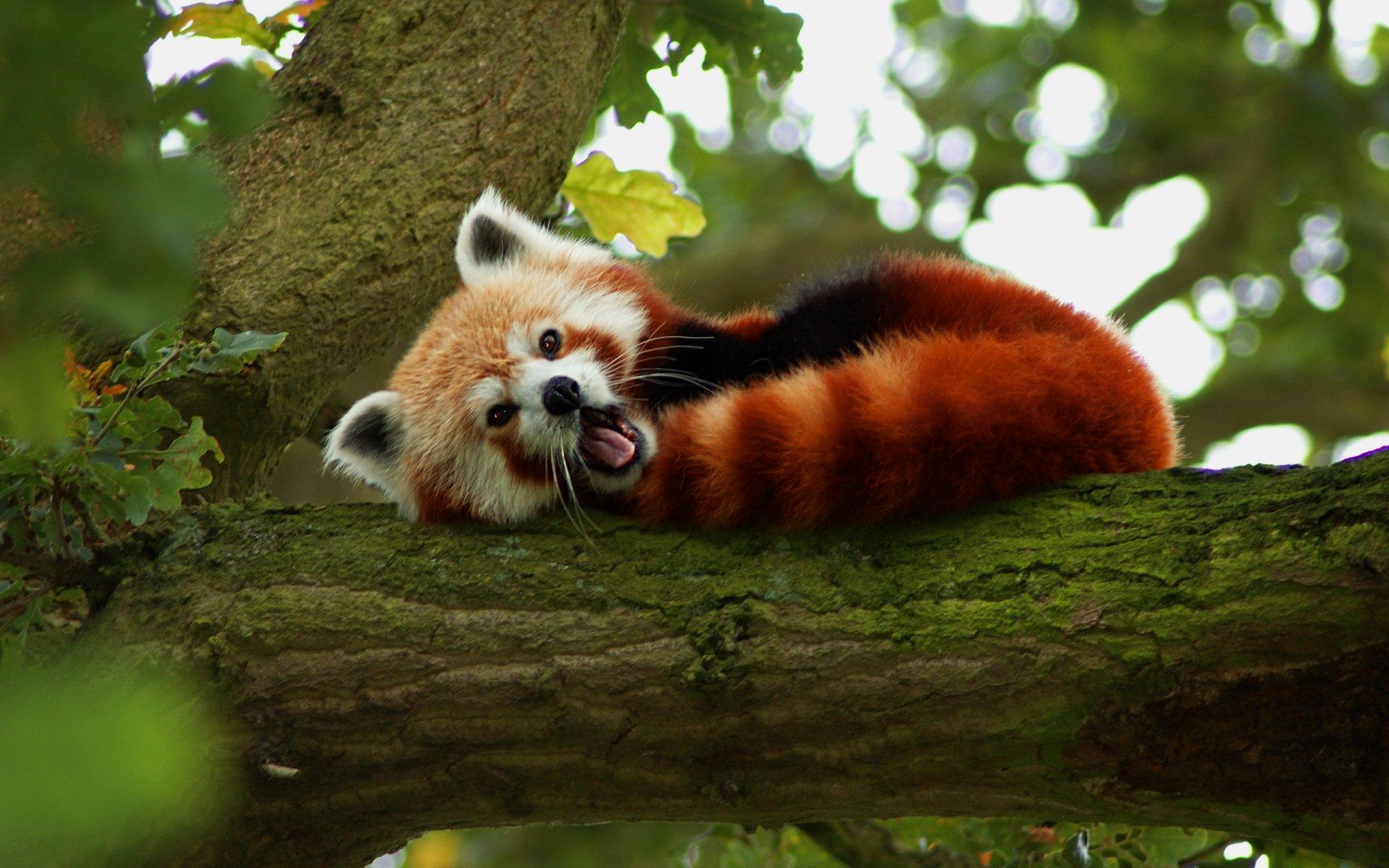 Animaux - Panda Roux  Fond d'écran