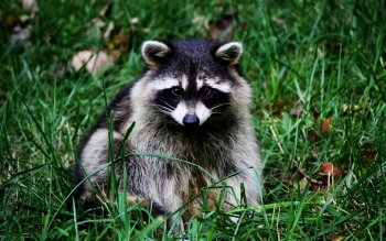 Animal - Raccoon Wallpapers and Backgrounds ID : 276105